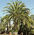 15 Seeds Canary Island Date Palm - by Seeds and Things