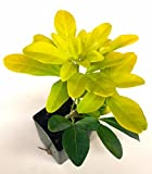 5 Choisya ternata 'Sundance' Mexican Orange - Bright Yellow Foliage - Fragrant
