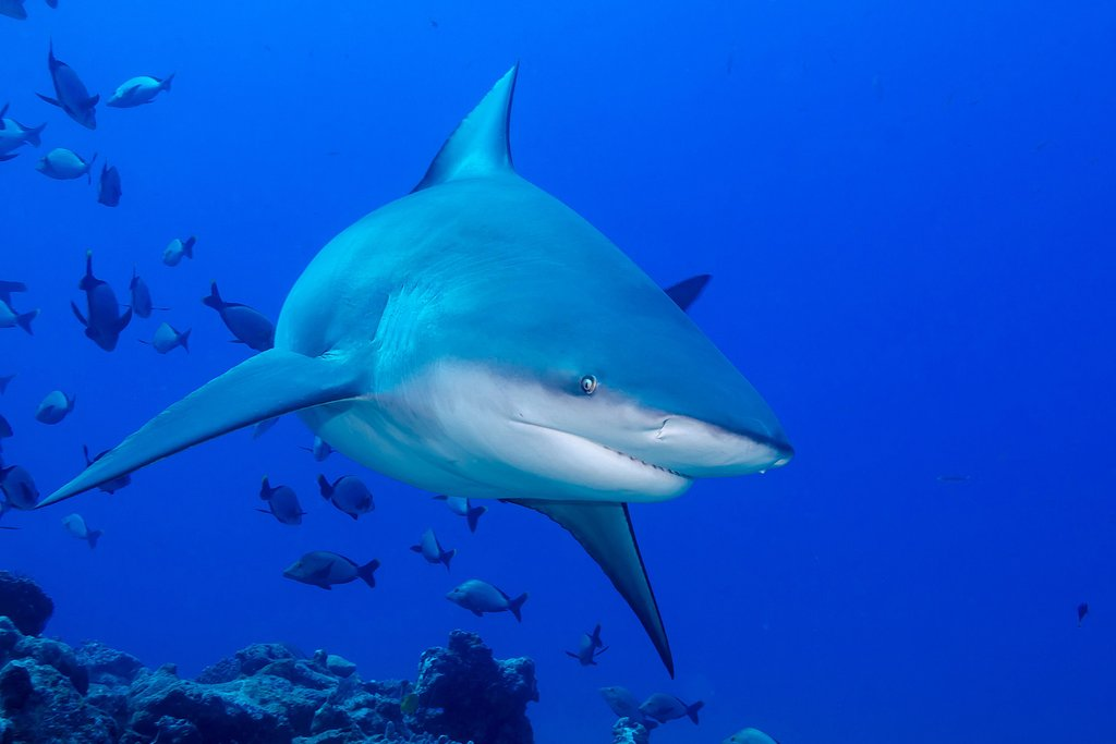 Bull Shark Gliding Through School of Fish Photo Art Print Poster 18x12 inch