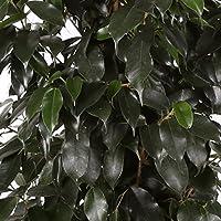Ficus Danielle - Maceta 17cm. - Altura aprox.