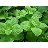 how to grow mint in a pot indoors