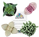 Mimicry succulent Colleciton - 2.5'' - 4 Pack