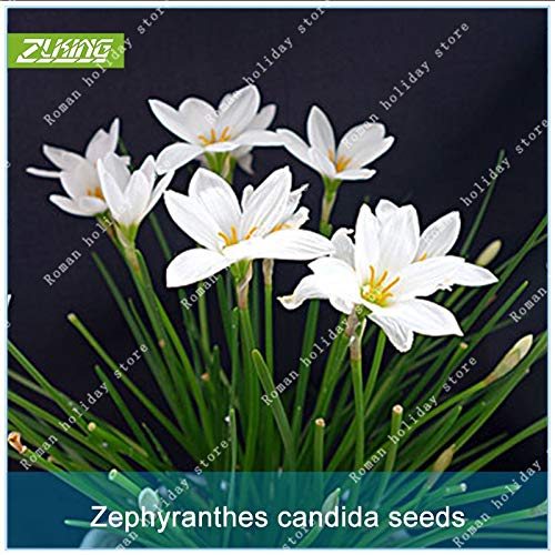 Seed 100 Pcs White Chinese Zephyr Lily Flower Bonsai Flowering Time is Long Fresh Easy to Grow Natural Plant