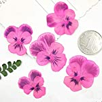 Yellow-Pansy-Dried-Press-Flowers-Specimens-for-Kids-Handmade-Class-120-PcsPink-Purple-On-Stems