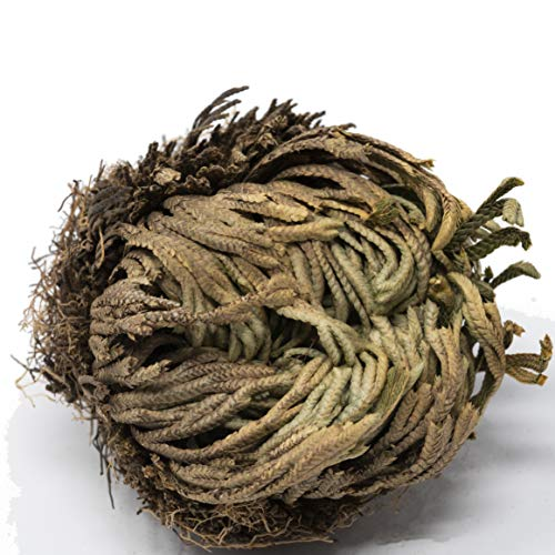Rose of Jericho- Resurrection Flower, Unique Novelty Plant Selaginella lepidophylla, Comes Back to Life After Years Without Water or Care, by American Heritage Industries (1)