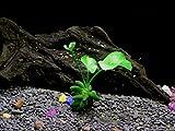 Banana Plant - Beginner Tropical Live Aquarium Plant