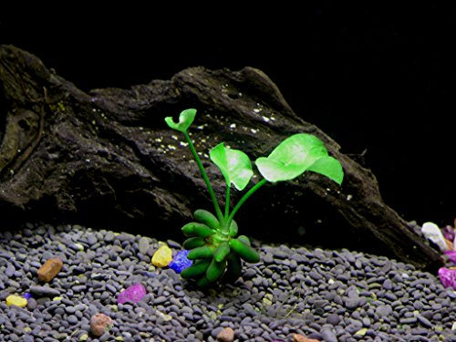 Banana Plant - Beginner Tropical Live Aquarium Plant