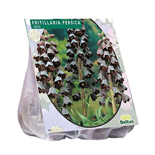Fritillaria Persica 3 Stück Kaiserkrone Blumenzwiebel Baltus Blumenzwiebeln