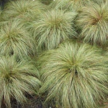 Outsidepride Carex Comans Frosted Curls Ornamental Grass Seed - 200 Seeds
