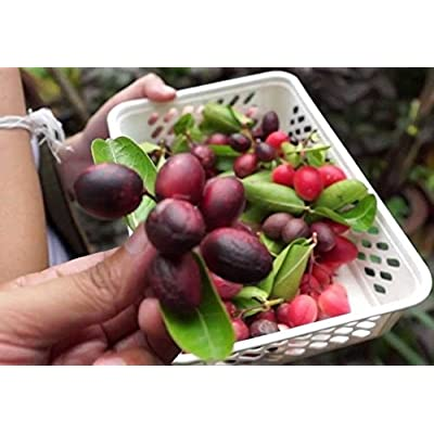 10 seed sweet karanda karamda carissa carandas thai fruit lime berr : Garden & Outdoor
