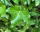 English ivy 50 Seeds, Hedera helix