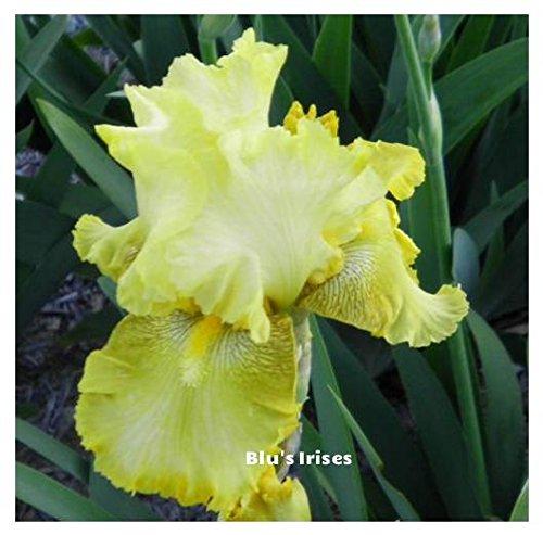 Bearded Iris Rhizomes (1 Buckwheat Reblooming Tall Bearded Iris Rhizome)