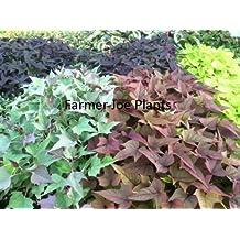 """IPOMOEA SWEET POTATO VINE - BI Rusty Red - 2 PLANTS - 3"""" POTS"""