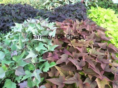 IPOMOEA SWEET POTATO VINE - BI Rusty Red - 2 PLANTS - 3