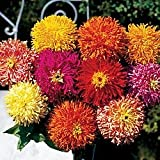 Giant Cactus Double Mix Zinnia - 100 Seeds, 1.5