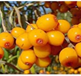 Sea Buckthorn Botanical Extract 8 Oz Review