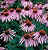 110 Seeds, Purple Coneflower (Echinacea purpurea) Seeds by Seed Needs