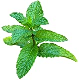 Mojito Mint Live Plant (mentha x villosa)