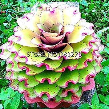 VISTARIC Promoción grande! 10 Piezas/semillas de cactus bolsa de bolas raras semillas de plantas suculentas Bonsai celeste flor de plantadores de marihuana Flores, 2ZVKYU