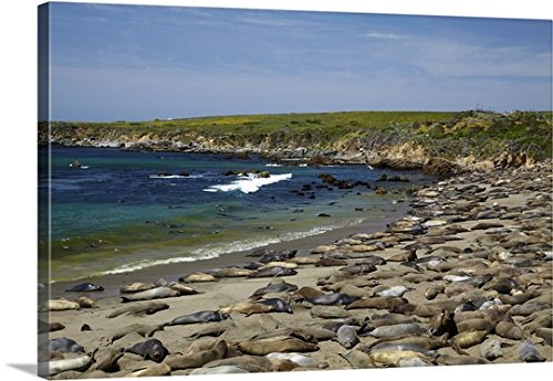 David Wall Premium Thick-Wrap Canvas Wall Art Print entitled California, Big Sur, Piedras Blancas elephant seal rookery, Northern Elephant Seals