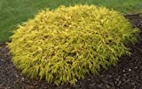 gold thread cypress Pixies Gardens (Liner) Kings Gold MOP Cypress-Dwarf Golden with Thread Like Golden Yellow Foliage-Gives a Splash of Yellowish Color Provides Excellent Contrast Great for Bonsai, Interesting Evergreen