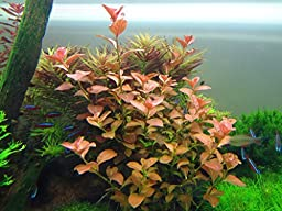 Ludwigia Repens \'Ovalis\' - Live Aquarium Plants Freshwater Decorations BUY2GET1FREE*