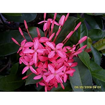 Amazon.com : THAI SNOW Ixora Tropical Live Plant Rare ...