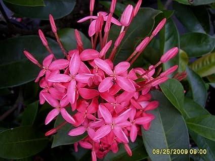 Amazon emeralds tm ixora plant nora grant pink tropical plant emeralds tm ixora plant nora grant pink tropical plant mightylinksfo