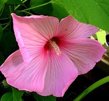 50 Pcs Rose De Sharon Graines DHibiscus Noir 10 Pcs Bonsa/ï Jardin D/écor Fleur Plante 10 pi/èces