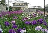 Japanese Iris 20 Seeds -Iris ensata/kaempferi-Perennial