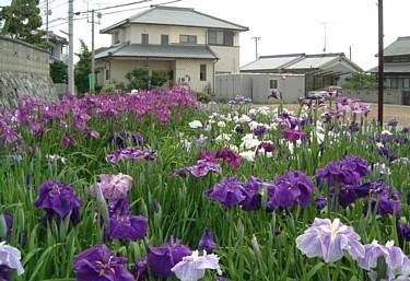 Japanese Iris - 7
