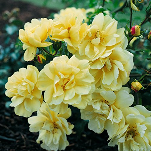 Roses: Flower Carpet Rose Yellow (1 Bare Root Plant, 1.5 Year Old Field Grown) Carpet Rose