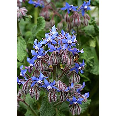 Borage 75 Seeds - Borago Officinalis Functional Medicinal Blue Flower, Starflower Annual Edible Plants, Wonderful Ornamental Plant Seeds, Herb Seeds for Planting Outdoor : Garden & Outdoor