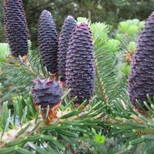 60 Pacific Silver Fir Tree Seeds (Abies amabilis) Seeds A2