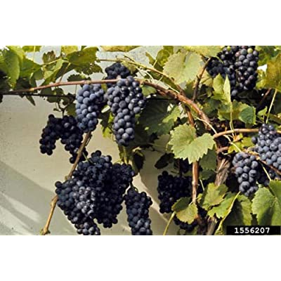 Riverbank Grape, Vitis riparia, Vine Seeds (Edible, Hardy, Fall Color, Showy) (60) : Garden & Outdoor