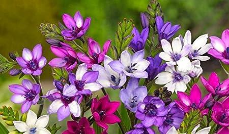 Amazon Com Babiana Stricta Baboon Flower Mix 10 Bulbs Drought
