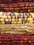 100 ORNAMENTAL INDIAN CORN WAMPUM Mixed Colors Zea Mays Vegetable Seeds