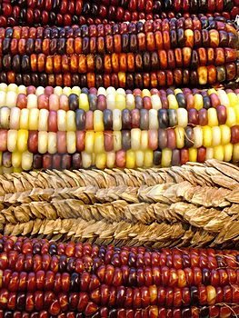 100 ORNAMENTAL INDIAN CORN WAMPUM Mixed Colors Zea Mays Vegetable - Mixed Corn