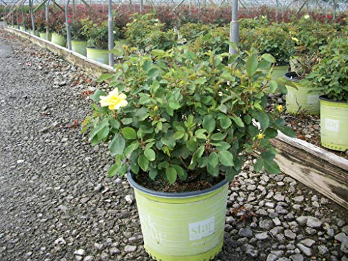Knock Out Roses Sunny Knock Out Rose - Rose K.O. Sunny Knockout - 3 Gallon by Premier Plant Solutions (Image #2)
