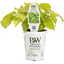 Sweetheart Lime Sweet Potato Vine (Ipomoea) Live Plant, Lime Green Foliage, 4.25 in. Grande, 4-pack