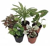Terrarium & Fairy Garden Plants - 5 Plants in 2'' pots