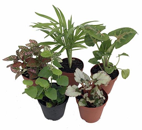 "Terrarium & Fairy Garden Plants - 5 Plants in 2"" pots"