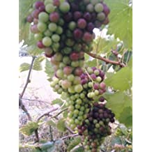 Growing grapes under glass
