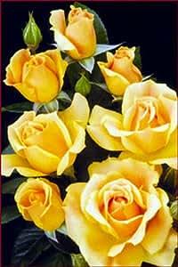 "Easy Going Rose Bush - Creamy Yellow, Ruffled Blooms - 4"" Pot"