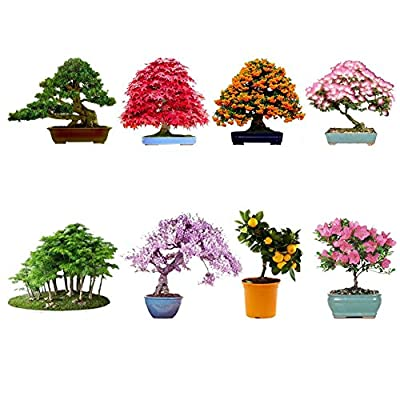 Generic 8 Kinds Bonsai Seeds Maple Wisteria Podocarpus Easy-growing Impressive Garden Bonsai