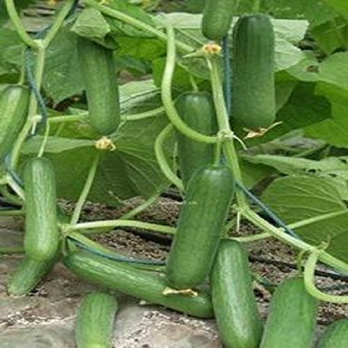 Without thorns fruits of cucumber seeds mini 30seeds SVI