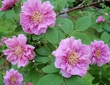 Rosa davurica Cinnamon Rose 10 seeds