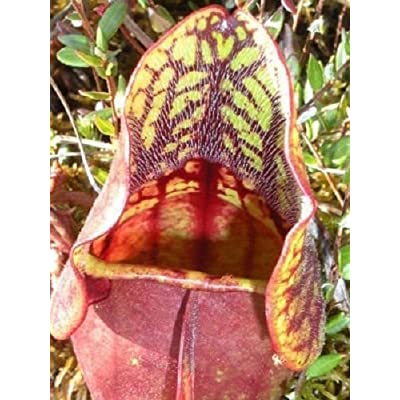 10 PURPLE PITCHER PLANT Sarracenia Purpurea CARNIVOROUS Flower Seeds : Garden & Outdoor