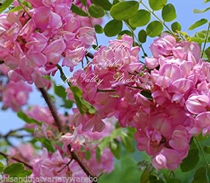 Amazon robinia hispida rose locust tree seeds sweet pink robinia hispida rose locust tree seeds sweet pink blossoms small for any garden mightylinksfo