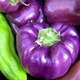 Purple Beauty Bell Pepper - 2 Live Plants